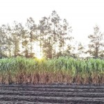 Clemson helps reintroduce Purple Ribbon sugarcane to Sapelo Island