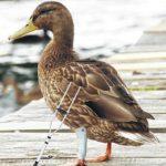 County seeks to eliminate lame ducks